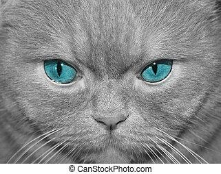 blå, eyed, katt, Närbild