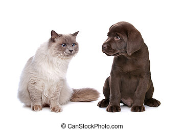 cat and puppy - a purebred cat and a chocolate Labrador...