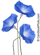 morning glory - Studio Shot of Blue Colored Morning Glory...