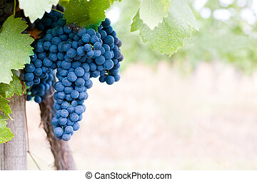 Harvest coming soon. - Harvest coming soon in the vineyard.