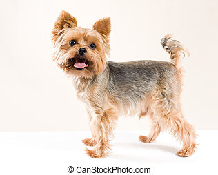 Adult male yorkshire terrier - Studio portrait of adult male...