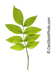jesion, liście, biały, tło