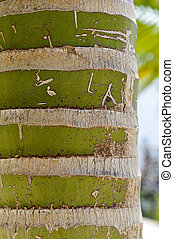 New Caledonian palm Kentiopsis oliviformis trunk - Detail of...