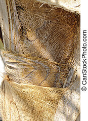 Coconut palm Cocos nucifera trunk - Detail of a Coconut palm...