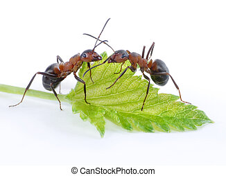 two ants and green leaf - two ants and green fresh leaf