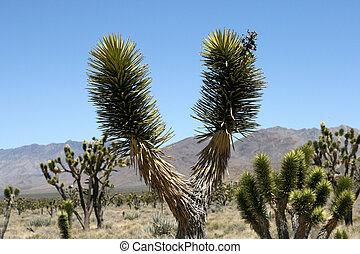 Joshua trees in Mojave Desert