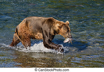 Alaskan brown bear with salmon - An Alaskan brown bear holds...