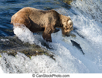 Large Alaska brown bear waiting for salmon - A large Alaskan...