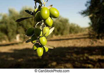 Olive branch - Olive Branch in a grove. Green olive.