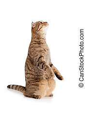 side view of Scottish tabby-cat, isolated on white