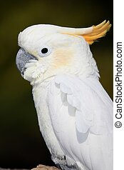 Sulphur Crested Cockatoo bird with distinctive yellow crest