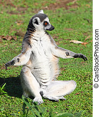 lemur sitting in a funny pose on the grass