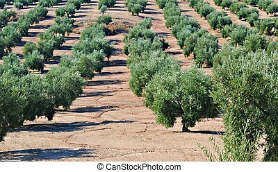 Field of olive groves alongside each other in the fields of...