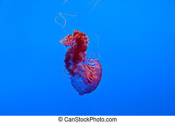 beautiful Jelly fishes in the aquarium with blue background