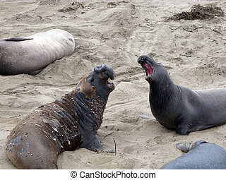 male Sea lion at a beach - male Sea lion at a meeting place,...