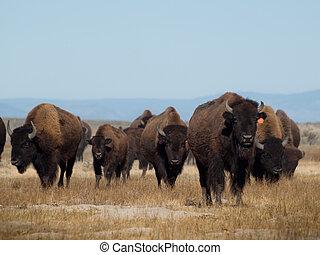 Buffalo Ranch - Buffalo herd on Zapata Ranch, Colorado. The...