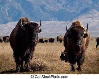 Buffalo Ranch - Buffalo herd on Zapata Ranch, Colorado. The...