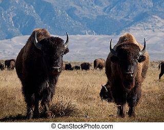 rancho, búfalo