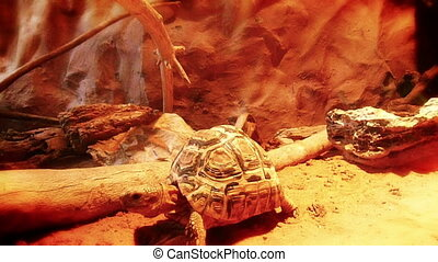 Turtle in hot climate