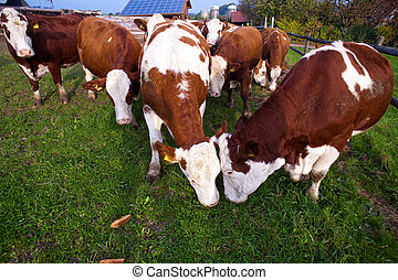 friendly cattle on green grazing land are trusty