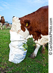 friendly cattle on green grazing land are trusty - friendly...