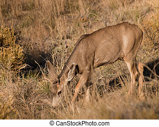 Deer - Wild deer at Great Sand Dunes National Park,...