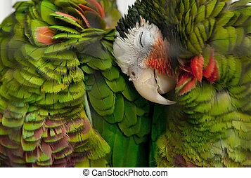 Parrots in love - Two beautiful green parrots deeply in love...