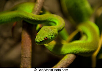 Green snake - Green viper on the branch. Very shallow DOF