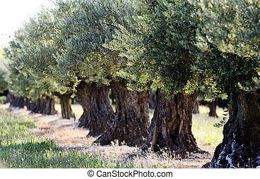 olive trees - an orchard with olive trees
