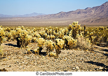 beautiful Cholla Cactus Garden in Joshua Tree national park...