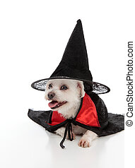 Dog wearing a witch hat and cape - A white maltese terrier...