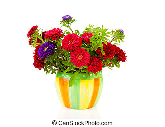 colorful Asters flowers in pot over white background