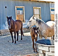 potro, seu, cavalo, família, bebendo, água,...