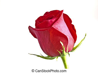 Red rose with green leaves. Isolated on white background.