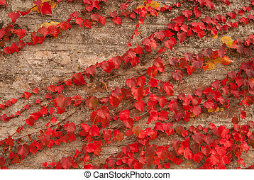 The old wall covered with scarlet leaves icloseup - The old...