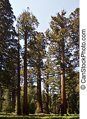famous big sequoia trees are standing in Sequoia National...