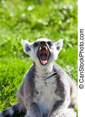 Yawning lemur - Ring tailed Lemur yawning after an...
