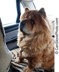 Chow chow dog traveler - Brown chow chow dog traveler in the...