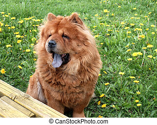 Chow chow dog. Summer time.