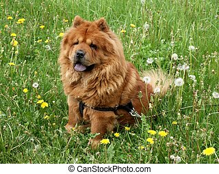 Chow-chow dog - Brown friendly chow-chow dog sitting