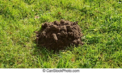 molehill on the garden grass - new molehill on the garden...
