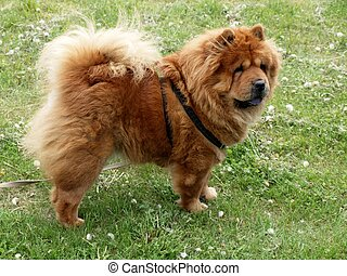 Chow-chow dog - Brown friendly chow-chow dog