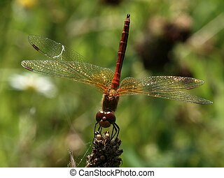 Dragon-fly - Village in Lithuania. Life in the grass.