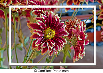 Burgundy Dahlia Flower Picture Within a Picture Fine Art...