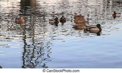 Ducks Swimming on Willametter River - Ducks Swimming under...