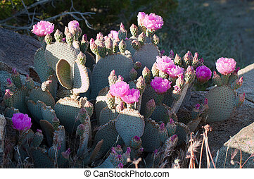 blooming Beavertail red wild desert cacti - closeup view of...