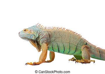 iguana on isolated white - portrait of iguana on isolated...