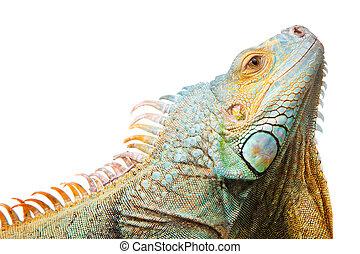 iguana on isolated white - Close-up portrait of iguana on...