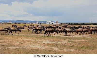 Buffalo - buffalo in the savannah