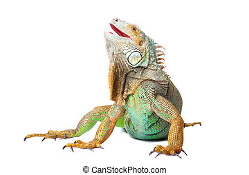 iguana on isolated white - portrait of iguana on isolated...
